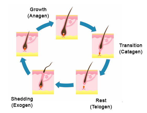 the hair growth cycle, showing the Anagen, Catagen, Telogen, and Exogen stages